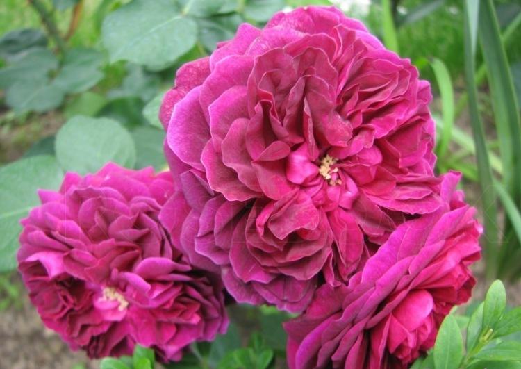Las mejores calidades de rosas de parques para la región de Moscú